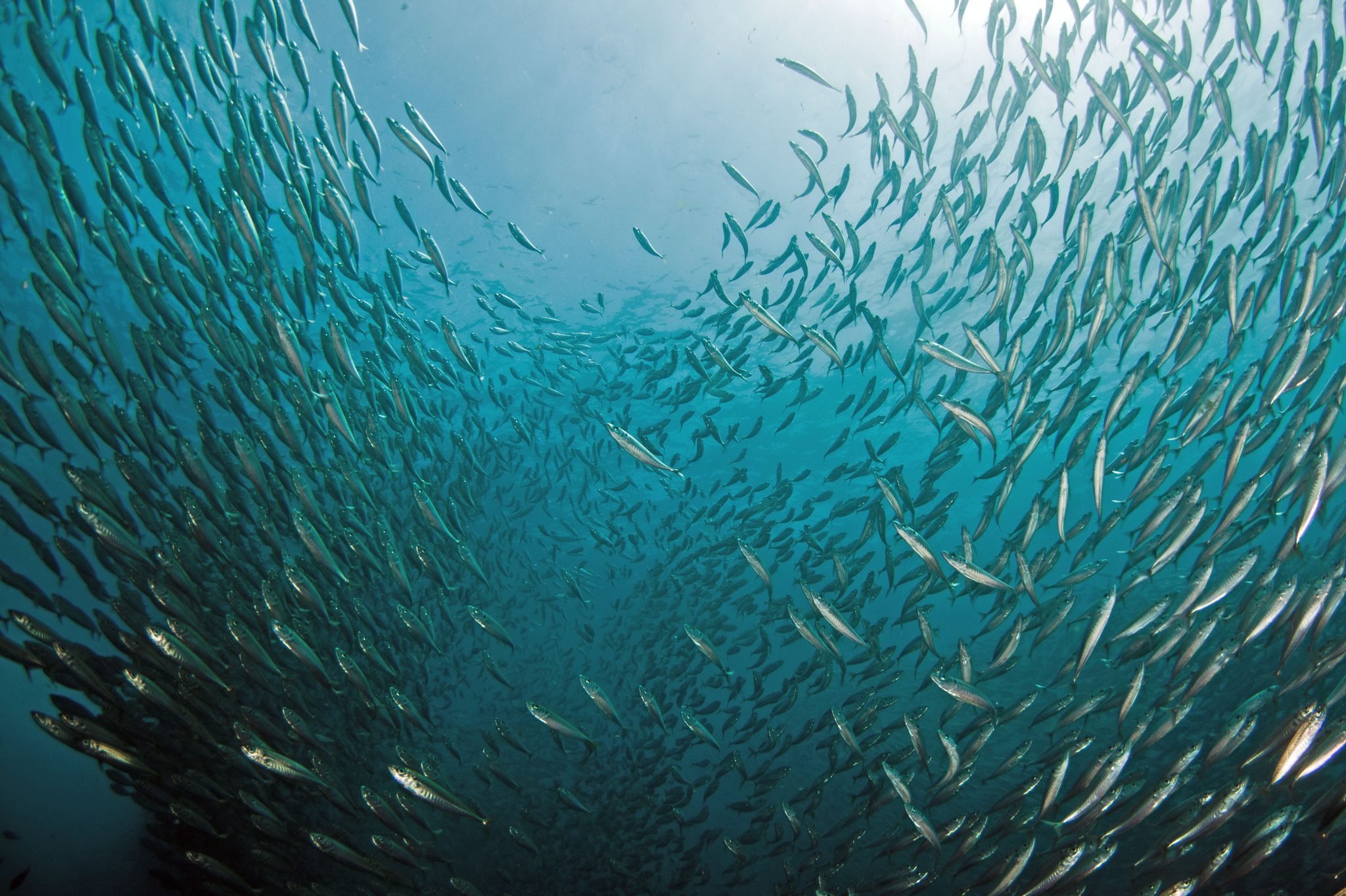 Jack mackerel schooling around Ship Rock, Catalina Island, California. (NOAA)